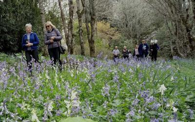Walking amongst Bluebells at Gwavas Gardens