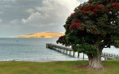 Pohutakawa Tree and the Omapere Wharf, Hokianga Harbour