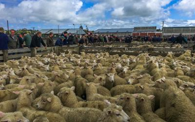 Sheep in the Feilding Saleyards