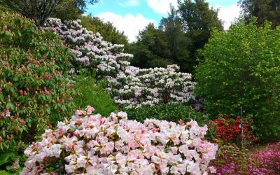 Rhododendrons in flower at Pukeiti Gardens in Taranaki