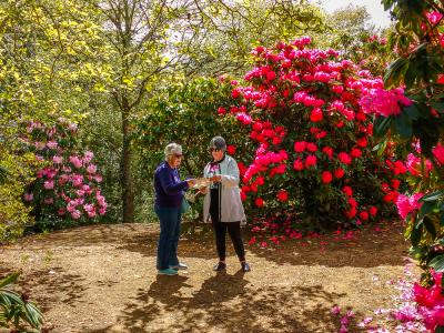 Rhododendrons in flower, Cross Hills Gardens in the Manawatu