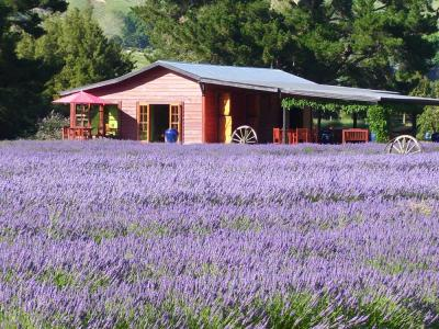 Lavender at historic buildings at Laurens Lavender Farm Taranaki